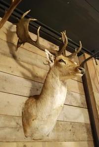 Ornate stuffed head of a capital fallow deer