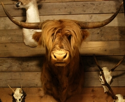 Stuffed head of a Scotish highland cow