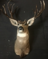Hunting trophy of an American mule deer