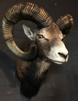 Hunting Trophy of large mouflon ram